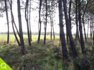 parcelle de pins conservés dans le lotissement les rouettes